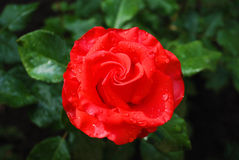 Red rose in the green leaves blurred Stock Photography