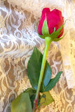 Red Rose with green leaves on delicate white lace Royalty Free Stock Images