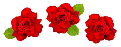 Red rose with green leaves isolated on white. Flower head Royalty Free Stock Image