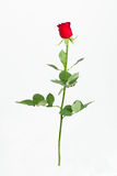 Red rose with green leaves. Isolation on white Stock Photo
