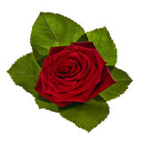 Red rose with green leaves Royalty Free Stock Photography