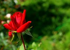 Rose flower in the nature royalty free stock images