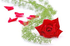 Red rose with green vine Stock Images