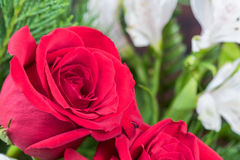 Red rose with greenery background Stock Images