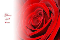 Red rose greetings card Royalty Free Stock Photos