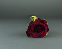 A Red Rose on a Grey Background. A single dark red rose shown from the top, laying on a grey backdrop royalty free stock photo