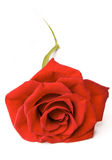 Red Rose on Ground Isolated Stock Images