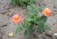 Red Rose Growing in Cracked Earth royalty free stock photo