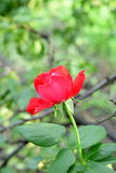 Red rose growing outdoors in the garden. Bright fresh flower on green leaves background. Branches of trees. Closeup Stock Photos