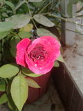 Red rose. Grown at home with love Royalty Free Stock Image