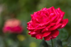 Red rose grows in the garden. Close-up. Royalty Free Stock Photography