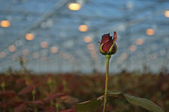 Red rose grows in modern greenhouse under artificial growth ligh Stock Photos