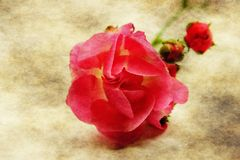 Red rose on grunge background Stock Photo