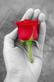 Red rose in hand Stock Images