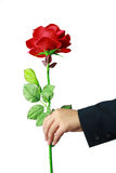 Red rose in hand Stock Photos