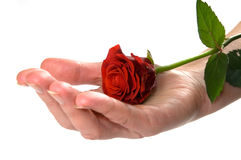 Red rose on hand conceptual Royalty Free Stock Photo