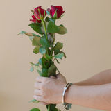 Red rose in hand Stock Photo