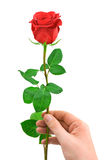 Red rose in hand Royalty Free Stock Images