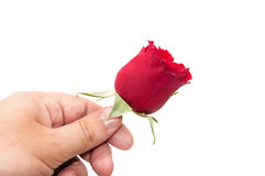 Red rose in the hand over white background.  Royalty Free Stock Photos