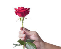 Red rose. Handing a red rose  to someone , isolated on white background Stock Image