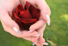 Red rose in hands royalty free stock images