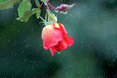Red rose. Hanging in the rain Stock Photography