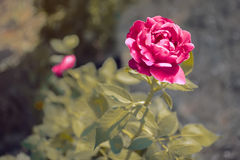 Red Rose in hard sun light stock images