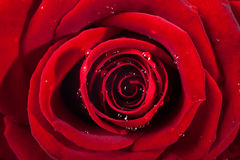 Rose and petals on white background. Red rose head on macro with small drops of water. Royalty Free Stock Photos