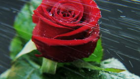 Red Rose in Heavy Rain Rotating stock video