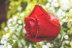 Red rose - high detailed. Romantic red rose from a gift Royalty Free Stock Image
