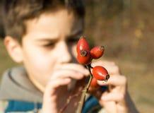 Red rose hip. Boy picking rose hip in a nature royalty free stock image