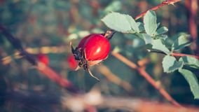 Red Rose Hip in Autumn royalty free stock photo