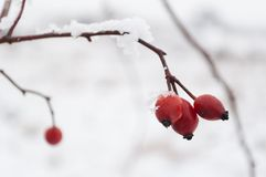 Red rose-hip berries covered with snow in a cold winter day Stock Images