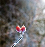 Red rose hip with ice Royalty Free Stock Photography