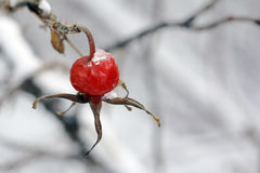 A red rose hips Stock Photo