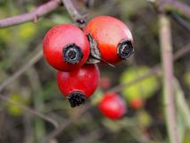 Red rose hips in autumn. Some red rose hips in autumn Stock Photos