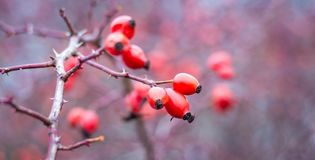 Red rose hips on a bare branch in the autumn forest_. Red rose hips on a bare branch in the autumn forest royalty free stock images