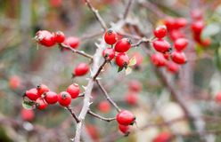 Red rose hips on a bare branch in the fall_. Red rose hips on a bare branch in the fall royalty free stock photo