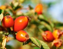 Red rose hips on a branch Royalty Free Stock Photos