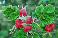Red rose hips or brier Royalty Free Stock Images