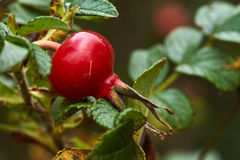 Red rose hips on bush. Red colorful rose hips on bush Royalty Free Stock Photo