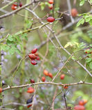 Red rose hips on bush Royalty Free Stock Photos