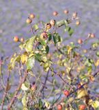 Red rose hips on bush. In italy Stock Photos