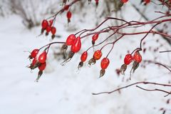 Red rose hips Stock Images