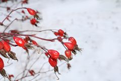 Red rose hips Royalty Free Stock Photo