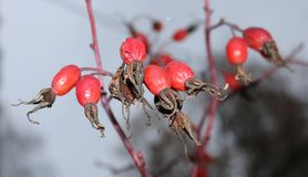 Red rose hips Royalty Free Stock Images