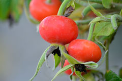Red Rose hips Royalty Free Stock Image