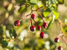 Red rose hips or hawthorn berries on a Sunny day with beautiful bokeh royalty free stock image