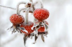 Red rose-hips macro in winter under frost Royalty Free Stock Photography