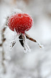 Red rose-hips macro in winter under frost Royalty Free Stock Images